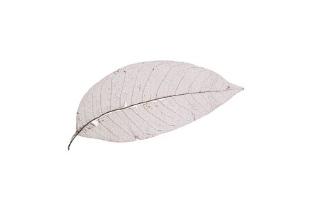 nervure: Dry transparent leaf isolated on white background,only nervure left in leaf.