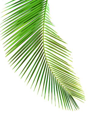fronds: Leaves of palm tree isolated on white background