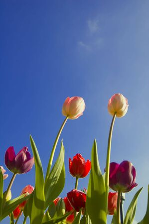 Bright reddish pink tulips against a blue summer sky. Stock Photo - 4251345