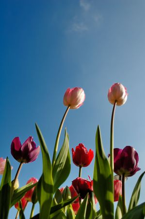 Bright reddish pink tulips against a blue summer sky. Stock Photo - 4452313