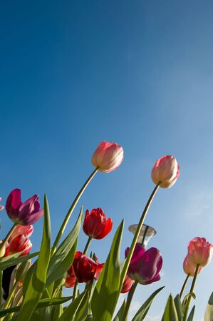 Bright reddish pink tulips against a blue summer sky. Stock Photo - 4452314