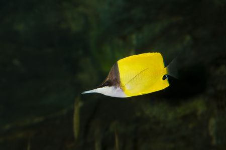 Underwater view of a buttefly fish Stock Photo - 4493802
