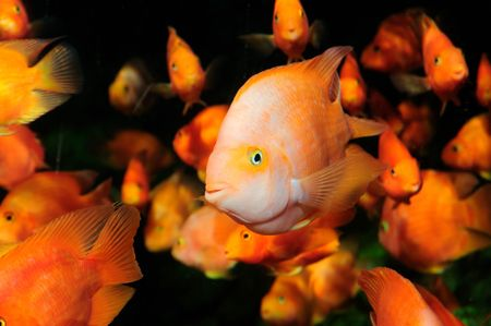The Blood parrot ,also known as bloody parrot and blood parrot fish, is a hybrid cichlid. Most commonly found in the trade is the Red Blood Parrot with bright orange in coloration.The fish was first created in Taiwan in around 1986. Its parentage is unkno Stock Photo - 4512092