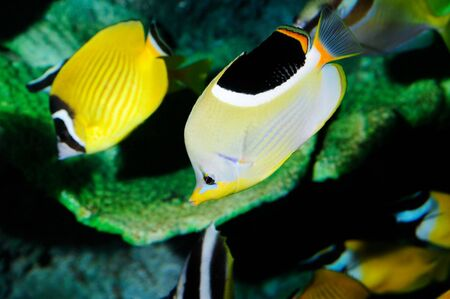 Two butterfly fishes swimming in a aquarium Stock Photo - 4512093