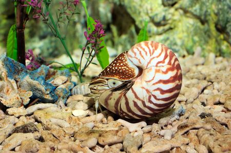 chambered: Chambered Nautilus (pompilius) underwater in a aquarium