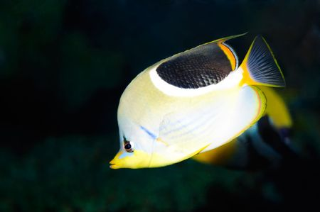 Underwater view of a butterfly fish on black ground Stock Photo - 4512097