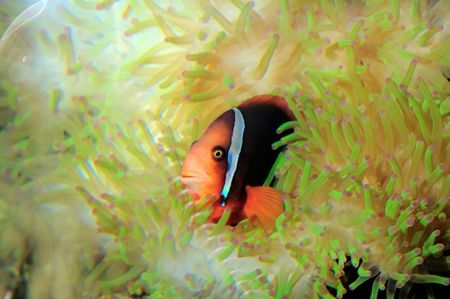 Anemone Clown Fish(Amphipn ocellaris) in a beautiful flourescent anemone Stock Photo - 4512098
