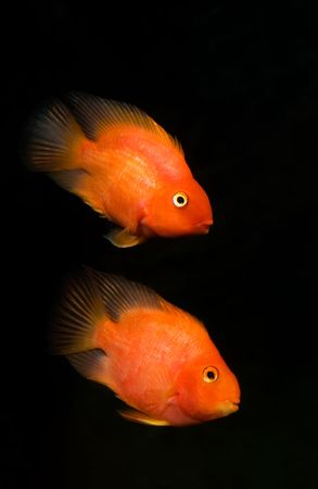 The Blood parrot ,also known as bloody parrot and blood parrot fish, is a hybrid cichlid. Most commonly found in the trade is the Red Blood Parrot with bright orange in coloration.The fish was first created in Taiwan in around 1986. Its parentage is unkno photo