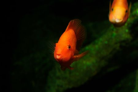 The Blood parrot ,also known as bloody parrot and blood parrot fish, is a hybrid cichlid. Most commonly found in the trade is the Red Blood Parrot with bright orange in coloration.The fish was first created in Taiwan in around 1986. Its parentage is unkno Stock Photo - 4531342