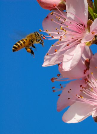 honey bee: A flying honeybee in beautiful pink peach blossoms Stock Photo
