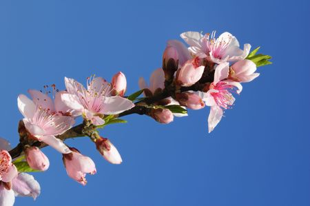 Beatifull pink peach blossoms under blue sky Stock Photo - 4659095