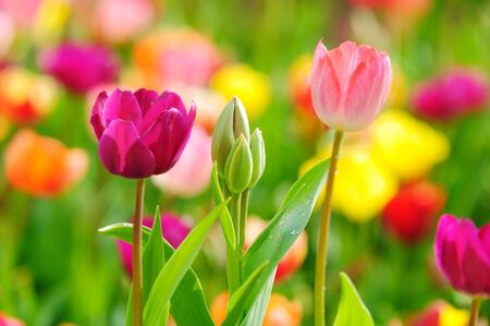 Beautiful spring tulips in the garden photo