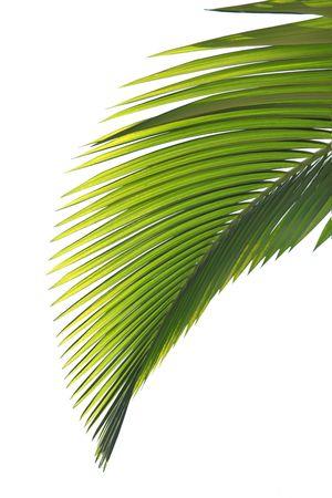 Die Blätter der Palme isoliert auf weißem Hintergrund Standard-Bild