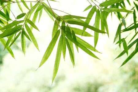 bamboo leaves: bamboo leaves  with bright background