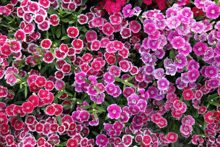 Blooming pink Dianthus in the park, Pink Dianthus(Chinese Pink or Rainbow Pink) is a flowering plant in the family Caryophyllaceae. Stock Photo - 4889072