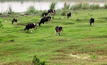 Herd of cows grazing on a pasture nearby a river. Stock Photo - 4942994