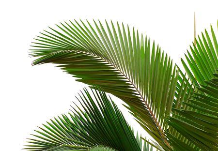 Blätter Palme, die isoliert auf weißem Hintergrund