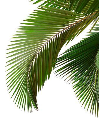 palm frond: Foglie di palma isolato su sfondo bianco