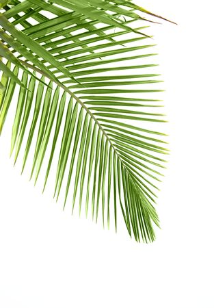 cycadaceae: Leaves of palm tree isolated on white background