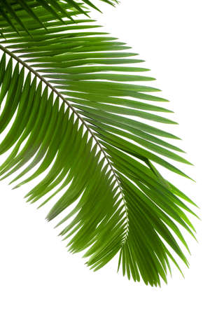 Leaves of palm tree with waterdrop isolated on white background photo