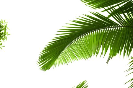 Leaves of palm tree with waterdrop isolated on white background Stock Photo - 5596408
