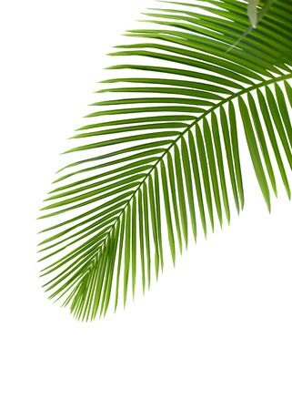 cycadaceae: Leaves of palm tree with waterdrop isolated on white background