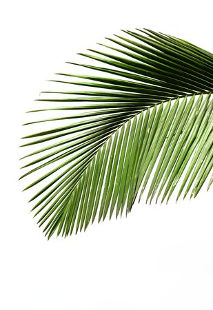 Leaves of palm tree isolated on white background Stock Photo - 5596384