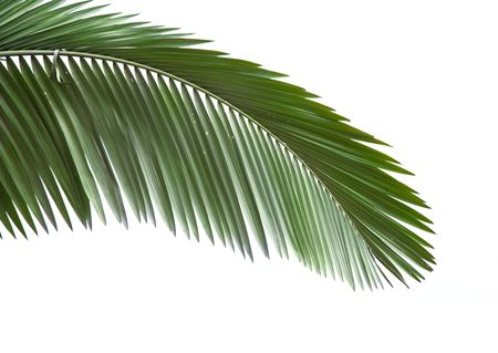 엽상체: Leaves of palm tree isolated on white background