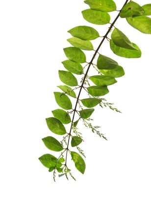 Branch of green leaves isolated on white background  photo
