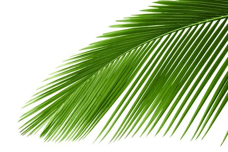 foliage frond: Leaves of palm tree with waterdrop isolated on white background