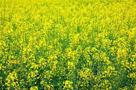 oilseed:   Yellow oilseed  scenery  Stock Photo