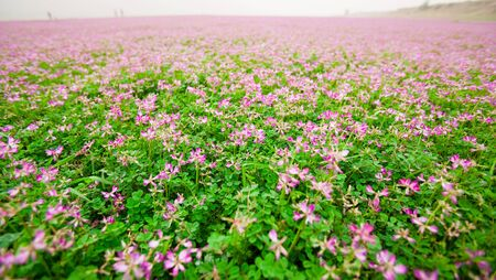 Astragalus sinicus,also name chinese milk vetch,blooming in Spring Stock Photo - 6696065