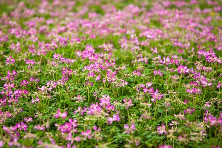 Astragalus sinicus,also name chinese milk vetch,blooming in Spring Stock Photo - 6696066