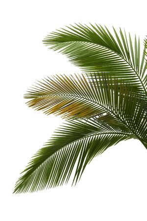 cycadaceae: Leaves of palm on white background