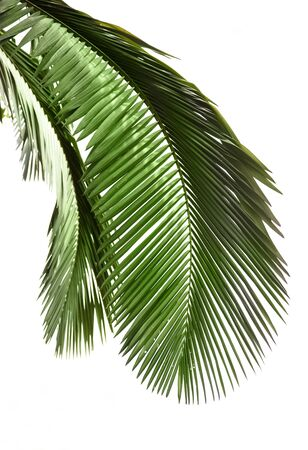 palm frond: Leaves of palm tree isolated on white background