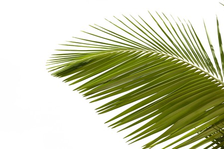 Leaves of palm tree isolated on white background Stock Photo - 7038189