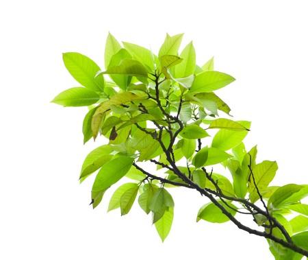 mango: LiÅ›ci z drzewa mango na biaÅ'ym tle Zdjęcie Seryjne