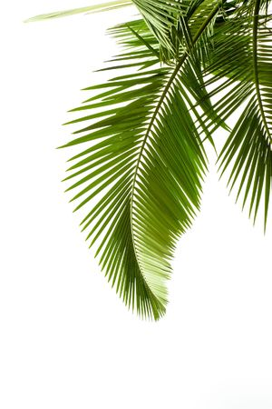 foliage frond: Leaves of palm on white background