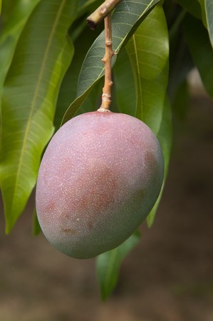 Organically grown green mangoes hanging from a tree photo