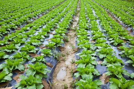 Chinese mustard with plastic film protected in land,The plastic film used vegetable insulation and prevent soil erosion photo