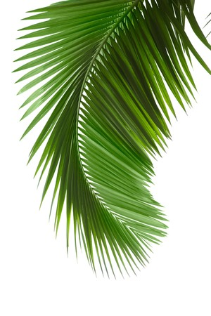 foliage frond: Green palm tree on white background Stock Photo