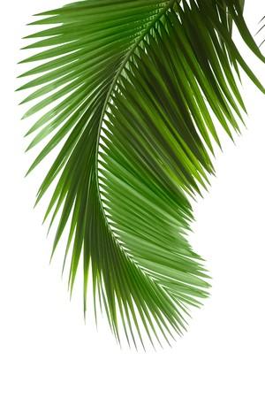 palm frond: Palma verde su sfondo bianco