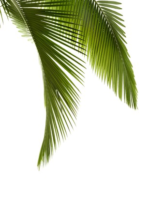 cycadaceae: Green palm tree on white background Stock Photo
