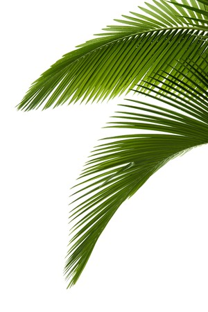 엽상체: Green palm tree on white background 스톡 사진