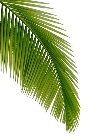 feuille arbre: Palmier vert sur fond blanc
