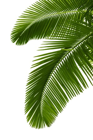 Green palm tree on white background photo