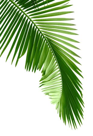 Green palm tree on white background Stock Photo - 7938771