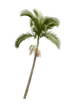 palm frond: Palma isolato su sfondo bianco