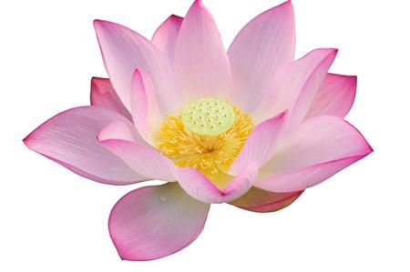 lirio de agua: Majestuoso flor de Lotus aislado sobre fondo blanco. Foto de archivo