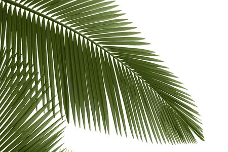 Green palm leaves isolated on white background,professional process from 16bit RAW and Prophoto RGB color profile used for output JPG file Stock Photo - 8347666